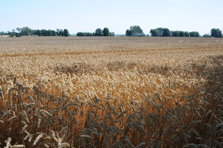 Die Erträge beim Weizen sind trotz regionaler Unterschiede durchschnittlich.