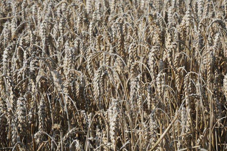 Die Hektarerträge für Weizen liegen diesmal deutlich unter dem Rekordniveau von 2014.