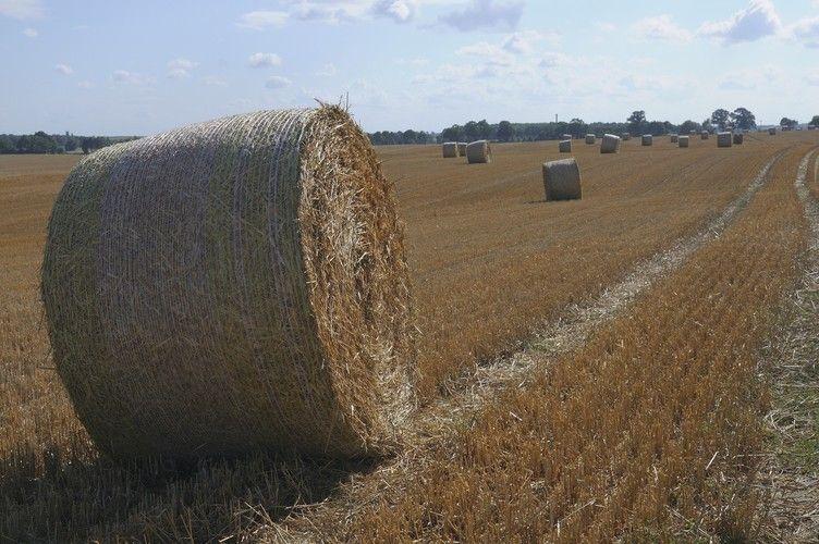Die Ernte ist mit Nord-Süd-Gefälle deutlich schlechter als in den Vorjahren.