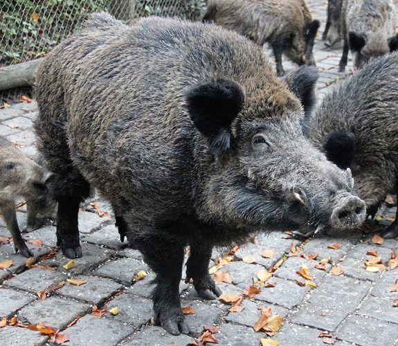 Wildschweine sind in Heide sehr gefährlich gewesen.