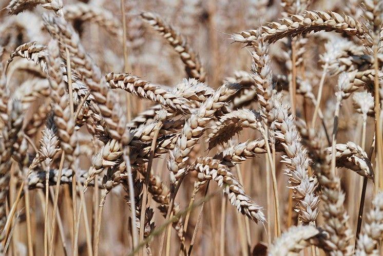 Die Kenntnis des Weizengenoms soll helfen, die Eigenschaften des Weizens gezielt zu verbessern.