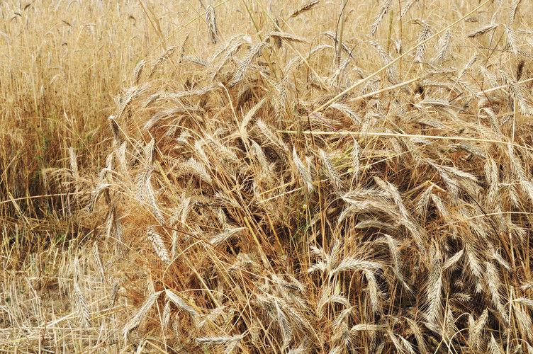 Hitzeschäden bei Roggen: kurze Ähren, kleine Körner.