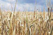 Deutliche Qualitätsverluste befürchtet: In großen Teilen Deutschlands steht das Getreide immer noch auf den Feldern.