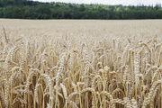 Nach den schweren Dürren in den Vereinigten Staaten steuert der Weizenpreis auch in Deutschland auf historische Höchststände zu.