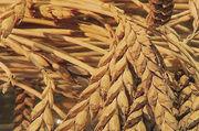 Eingekreuzt oder zugemischt? Jetzt kann nachgewiesen werden, ob und wie hoch der Weizenanteil im Dinkelgetreide ist.
