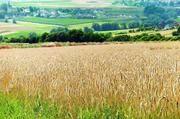 Auch im Getreideanbau kommen Pestizide wie Glyphosat zum Einsatz.