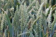 Der DRV geht davon aus, dass dieses Jahr 7,5 Prozent mehr Weizen geerntet wird.