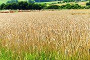 Mit oder ohne Glyphosat zur Ernte?: Künftig soll nach dem Willen des Bundesrats der der Einsatz des Pflanzenschutzwirkstoffs verboten werden.