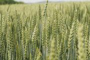 Grüne Gentechnik beschränkt sich nicht nur auf das Saatgut, sie betrifft auch Bäckereien.