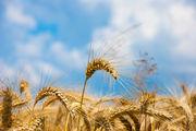 Bäcker bekommen Infos zur Ernte und zur Verarbeitung des Getreides.