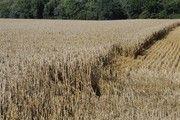 Je nach Region sind die Erträge beim Winterweizen deutlich gesunken.