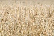Bei Bio-Dinkel ist die Anbaufläche europaweit um rund 20 Prozent erhöht worden.