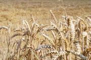 Trotz der regional unterschiedlichen Wetterverhältnisse mit teilweise sehr langen Hitzeperioden, sind relativ gute Qualitäten geerntet worden.