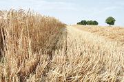 Das Einbringen der Ernte wurde durch häufige Regenschauer immer wieder unterbrochen.