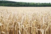 Die Wahl der Weizensorte und deren Standort hat großen Einfluss auf die Teig- und Backqualität.