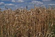 Bei Weizen rechnet der Landwirtschafts-Verband in diesem Jahr mit geringeren Erträgen.