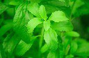 Die südamerikanische Stevia-Pflanze wird bisher als chemisch aufbereitetes Pulver zum Süßen von Lebensmitteln verwendet.