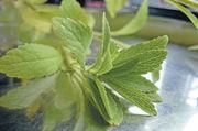 Stevia ist um ein Vielfaches süßer als Zucker und kalorienarm - wird bisher jedoch kaum verwendet.