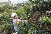 Kaffeeernte: Der Klimawandel bedroht Anbaugebiete und Erträge.