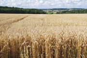 Weizen war von den Wetterbedingungen besonders betroffen.