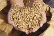 Dinkel könnte aufgrund geringerer Erträge und höherer Exporte zum teuren Rohstoff werden.