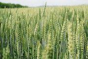 Weizenfeld in der Wachstumsphase.