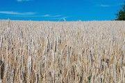 Wintergetreide, wie hier der Roggen, ist in vielen Gebieten Norddeutschlands notreif.