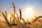 Sieht malerisch aus, war es aber nicht: Trockenheit und Hitze haben zu großen Ernteausfällen geführt.