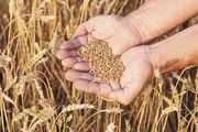 Forscher haben den Chromosomensatz von Weizen entschlüsselt.