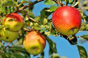 Auch beim Obst für Kuchen und Torte ist Regionalität mehr gefragt als Bio.