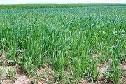 Bei Weizen wird 2019 ein besseres Ergebnis als im Vorjahr erwartet.