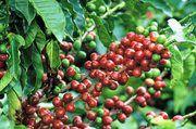 Kaffee ist das beliebteste Getränk der Deutschen, doch es ist fraglich, wie lange es noch genügend Kaffeesträucher gibt.