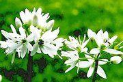 Die Blüten des Bärlauchs duften sehr intensiv nach Knoblauch.