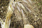 Die alte Getreidesorte Emmer wird immer häufiger angebaut und schon von einigen Bäckereien verbacken.