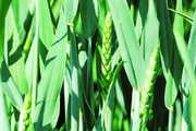 Durch die feuchte und warme Witterung der letzten Wochen sei mit verstärktem Pilzbefall zu rechnen.