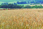 Auf Grund der guten Witterung in den letzten Wochen glänzt die Roggenernte in Hessen mit hohen Erträgen und guten Backeigenschaften.