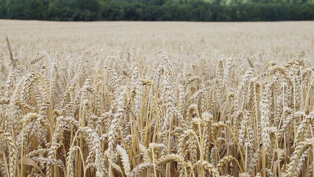 Nach den schweren Dürren in den Vereinigten Staaten steuert der Weizenpreis auch in Deutschland auf historische Höchststände zu.  (Quelle: ABZ)