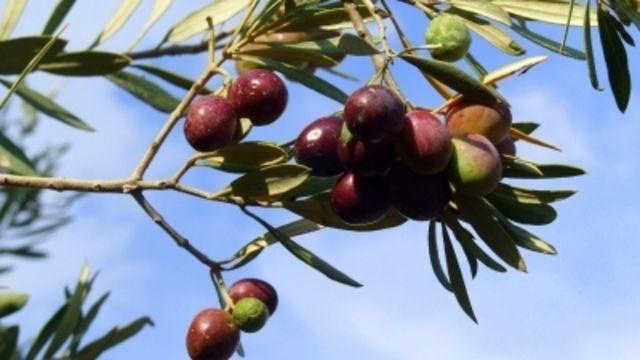 Ob gekaufte Oliven immer wie angegeben entkernt sind? Ein Restrisiko bleibt.