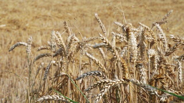 Bei Weizen und Roggen wird mit deutlich höheren Erträgen als im Vorjahr gerechnet.  (Quelle: Kauffmann)