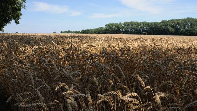 Das Weizen-Genom ist etwa fünf Mal so groß wie das menschliche Genom.  (Quelle: Kauffmann/Archiv)