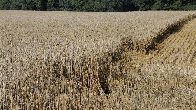 Je nach Region sind die Erträge beim Winterweizen deutlich gesunken. (Quelle: Archiv / Kauffmann)
