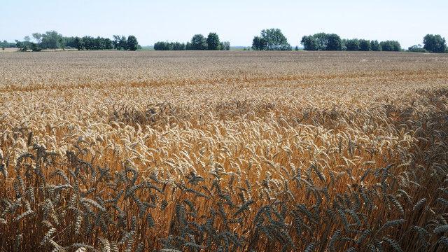 Die Erträge beim Weizen sind trotz regionaler Unterschiede durchschnittlich. (Quelle: Archiv / Kauffmann)