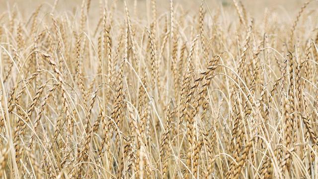 Bei Bio-Dinkel ist die Anbaufläche europaweit um rund 20 Prozent erhöht worden. (Quelle: Archiv/Kauffmann)
