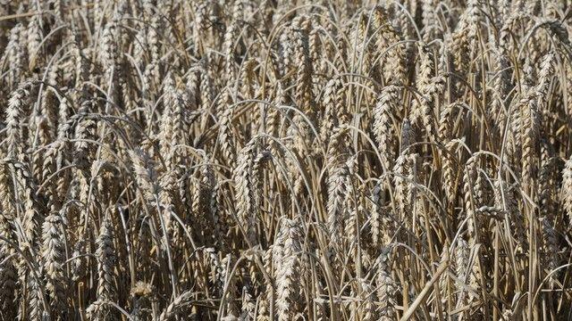 Die Hektarerträge für Weizen liegen diesmal deutlich unter dem Rekordniveau von 2014. (Quelle: Archiv / Kauffmann)
