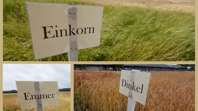 Die Uni hat 20 bis 30 verschiedene Sorten von jeder Getreideart angebaut.  (Quelle: Universität Hohenheim)