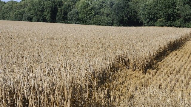 Ein feuchtes Frühjahr hat beim Getreide in Süddeutschland niedrige Fallzahlen zur Folge. (Quelle: Archiv / Kauffmann)