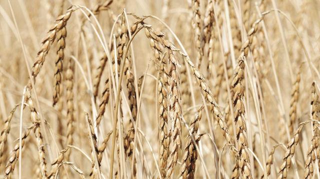 Anbau und Nachfrage nach Dinkel wachsen weltweit. (Quelle: Archiv/Kauffmann)