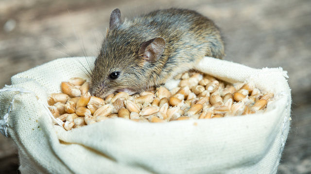 Mit der Kälte steigt die Gefahr, dass Mäuse die Wärme der Backstuben suchen.   (Quelle: Fotolia)