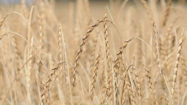 Für Dinkel gibt es keine dem Weizen vergleichbare Qualitätsbeschreibung. (Quelle: Archiv/Kauffmann)