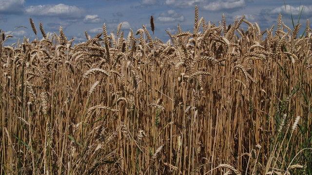 Bei Weizen rechnet der Landwirtschafts-Verband in diesem Jahr mit geringeren Erträgen.   (Quelle: Archiv/Kauffmann)